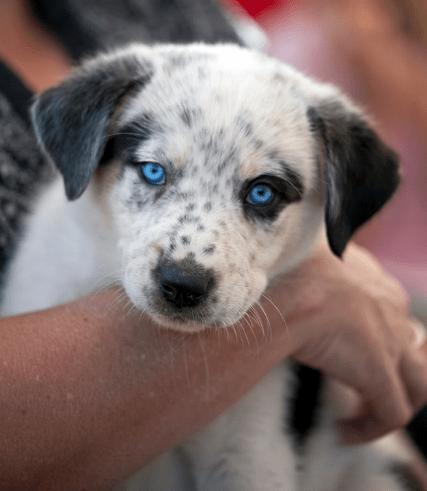 PAX Aus Puppies
